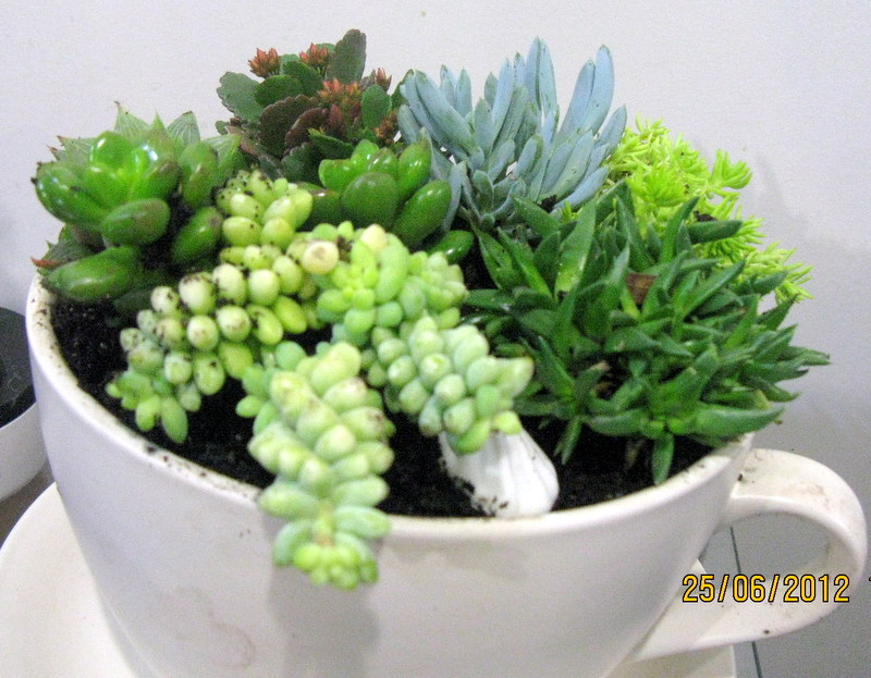 Succulents in a cup and saucer planter