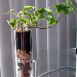 Ivy planted in a slim tall glass..