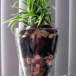 Chlorophytum in a glass vase...