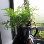 A fern in a jug of water...no soil at all...